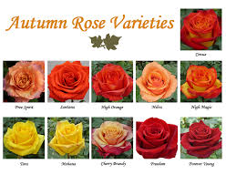 pictures and names of orange roses impremedia