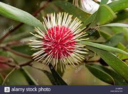 australian native plant seeds flower of hakea laurina pincushion hakea a unique and