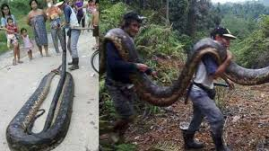 film ular phyton ular phyton berukuran 5 meter gegerkan warga desa serawak malaysia