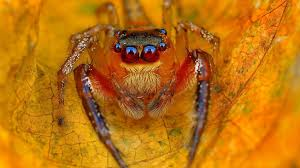 halloween jumping spider wallpaper jumping spiders macro yellow animals 4478