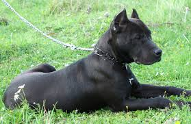 american pitbull terrier dog images american pit bull terrier personality history and pictures