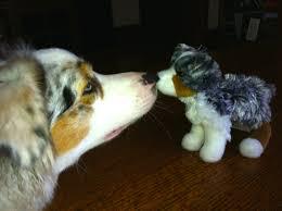australian shepherd teeth dog dollars great products we love cookie of katonah