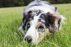australian shepherd kidney disease best dog food for sensitive stomach 5 stomach friendly superfoods