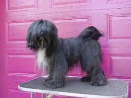 hair cuts for the tebelan terrier caring for the coat of your tibetan terrier
