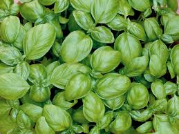 how to grow basil indoors hgtv