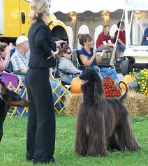 afghan hound puppies california jolie afghan hounds rush