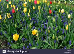 mixed bed border spring blooming bulbs purple white yellow colour