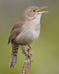 Little Houses Song House Wren Audubon Field Guide