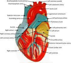 Pgcc Anatomy And Physiology Lab Practical Flexor Digitorum Longus Model Google Search Pa Study