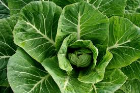 tips for growing chinese or napa cabbage