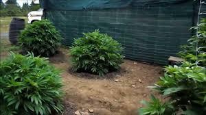growing marijuana outside