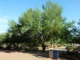 native desert plants parkinsonia florida jpg