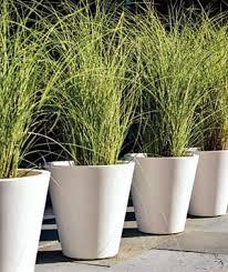 58 best ornamental grasses images on ornamental