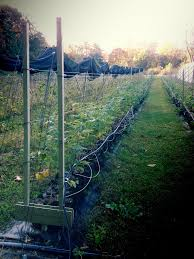 Trellis For Raspberries Raspberry Trellis System Overview Trellis Growing Systems