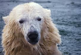 fur absorbs infrared radiation polar bear asknature