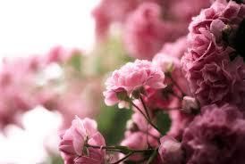 pink halloween background pink rose wallpapers hd desktop wallpapers 4k hd