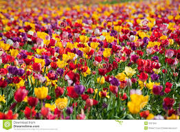 100 tulip field spring scene tulip field sea bird stock
