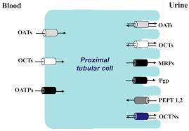 ijms free full text small molecule membrane transporters in