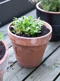 in door plant put in pot vide growing herbs 7 of the easiest herbs to grow at home