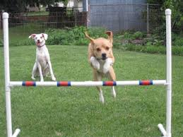 Backyard Agility Course The Second Hand Dogs The Backyardless Adch Apartment Training