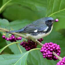 100 nc backyard birds consider the catbird the surprising