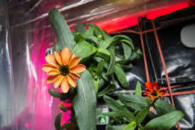 first flower grown in space station u0027s veggie facility nasa