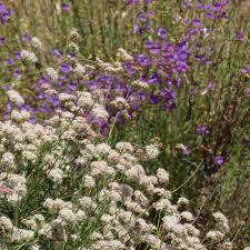 california native plants list eriogonum fasciculatum foliolosum california buckwheat
