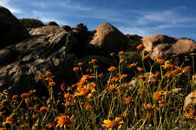 stalking wildflowers in california u0027s anza borrego desert