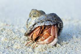 halloween crab reef safe hermit crabs information and facts