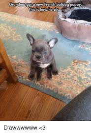 Meme French Grandma - grandmagot new french bulldog puppy this is how he sits d awwwwww