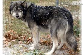 belgian sheepdog wolf mix dream