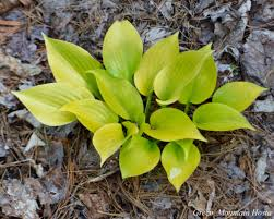 appletini appletini hosta
