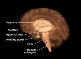 What Portion Of The Brain Controls Respiration A Tour Of The Brain