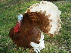 what s new heritage turkeys thanksgiving