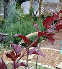 ornamental edibles or pretty tasty fairegarden