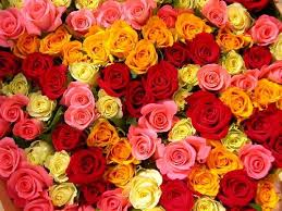 different color roses 13 best variety of roses images on rainbow colors