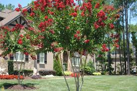 crape myrtle home design inspiration home decoration collection