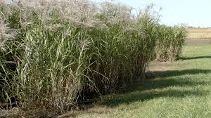 iowa native plants iowa state university agronomist says miscanthus would yield more