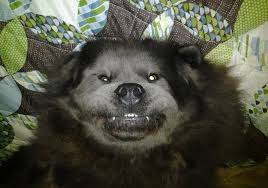 afghan hound collie mix chow chow pictures and photos dog breed dog type pictures from