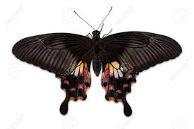 up of back side of common mormon butterfly isolated