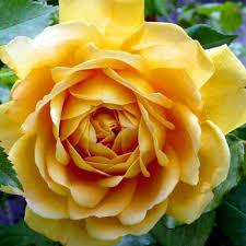 roses online graham clarenbridge garden centre