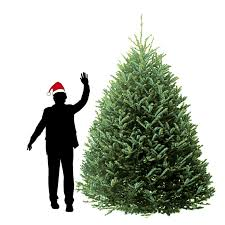 8 ft fraser fir christmas tree hilltop christmas tree delivery