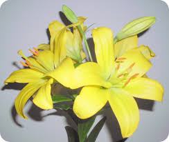 Yellow Lilies Flower Meditation U2013 Yellow Lilies U2013 Whispers From The Meadow