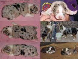 3 week old australian shepherd puppy bdh aussies australian shepherds may 2011