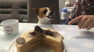 Birthday Cake Dog Meme - hilarious video shows grumpy jack russell terrier encouraged to