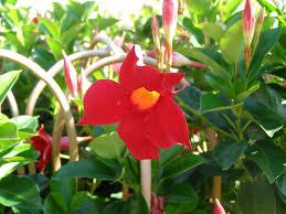 sun parasol dark red mandevilla