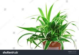 Spider Plant Spider Plant 1 Top 10 Nasa Stock Photo 574353898 Shutterstock