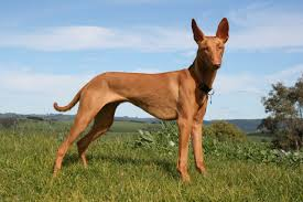 top 10 most expensive dog breeds in the world top 10
