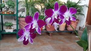 flower orchid how to care for orchid plant orchid flower gardening