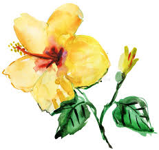 Yellow Hibiscus Flowers - watercolor yellow hibiscus flower stock photography image 37749202